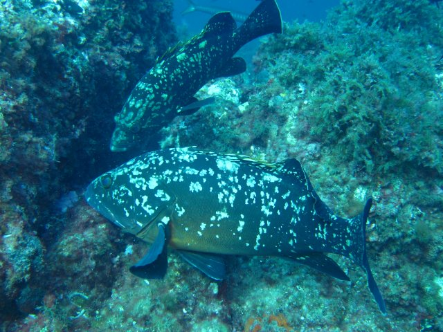 groupers feeding