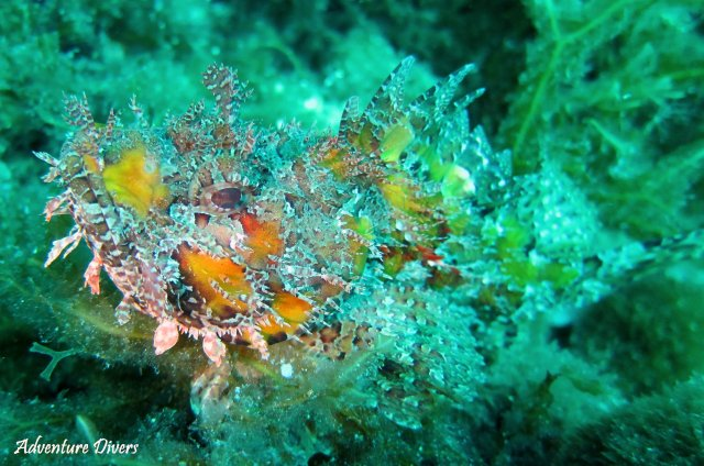 phoca_thumb_l_scorpionfish2