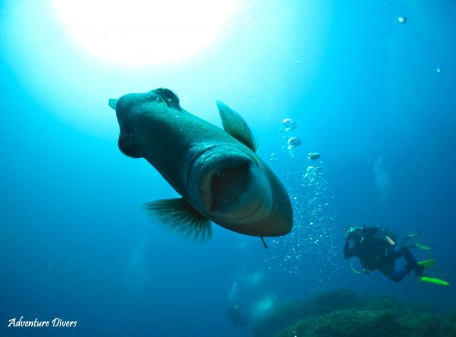 phoca_thumb_l_triggerfish