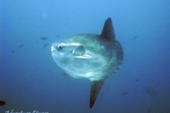phoca_thumb_l_Moonfish
