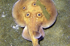 electric_ray