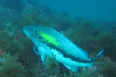 phoca_thumb_l_false_grouper-92