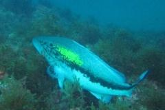 phoca_thumb_l_false_grouper-92
