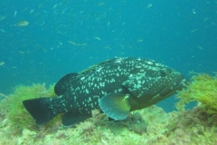 phoca_thumb_l_grouper_2-97