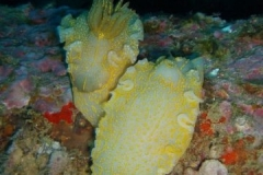 phoca_thumb_l_nudibranches-43