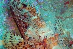 phoca_thumb_l_scorpionfish-57