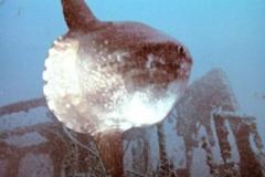 sunfish_naranjito_wreck