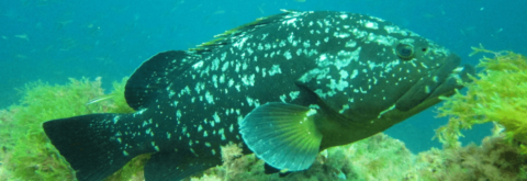 grouper in the islas hormigas marine reserve