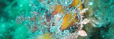 scorpoin fish